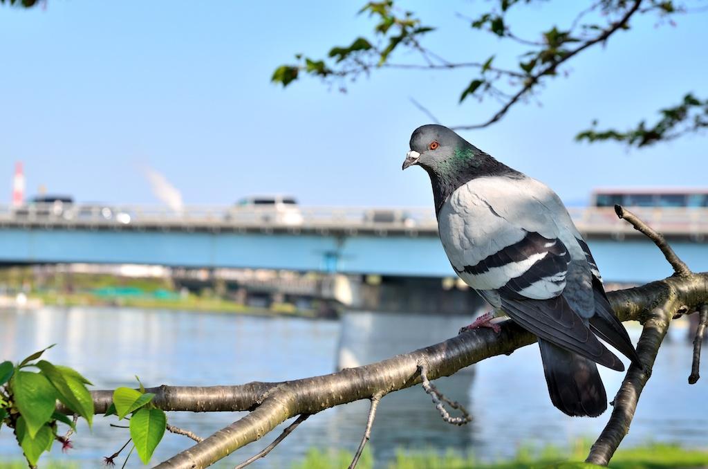河川敷の木で休むハト
